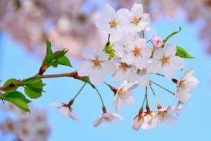 笠置町の花ソメイヨシノ