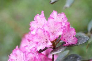 野迫川村の花シャクナゲ