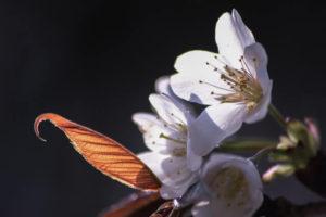 南山城村の花山桜