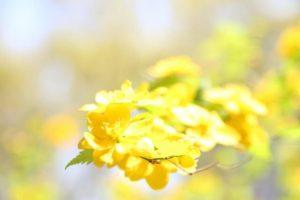 川上村の花ヤマブキ