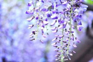 日高川町の花フジ