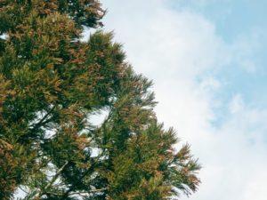 新庄村の木スギ
