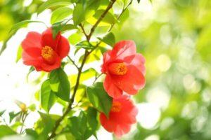 里庄町の花ツバキ