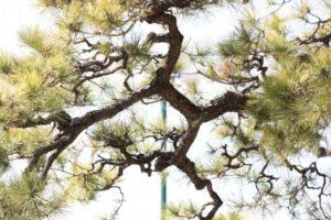 東広島市の木マツ
