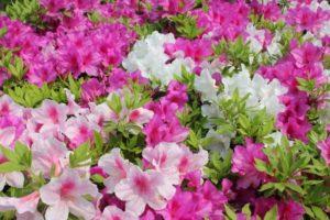 新見市の花ツツジ