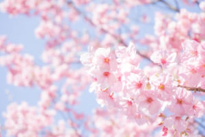 新庄村の花サクラ