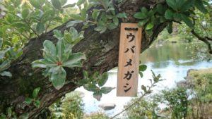 大紀町の木ウバメガシ