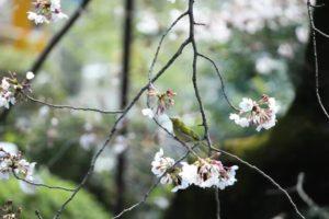 西粟倉村の鳥ウグイス