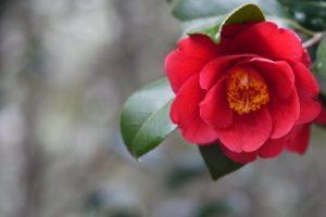 里庄町の花ツバキ2
