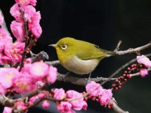 多気町の鳥メジロ