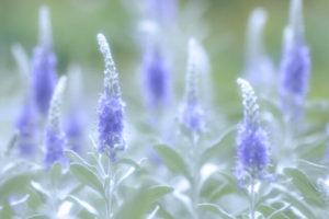京丹後市の花トウテイラン