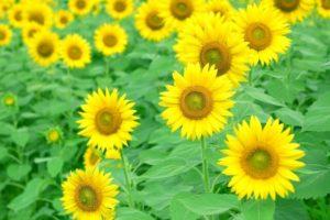 与謝野町の花ひまわり