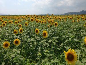 笠岡市のひまわり畑
