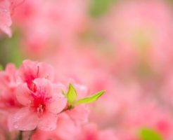 吉備中央町の花ツツジ