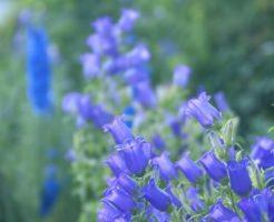 鏡野町の花リンドウ
