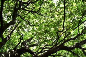 大台町の木アラカシ