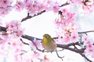 古座川町の鳥ウグイス