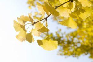 久米南町の木イチョウ