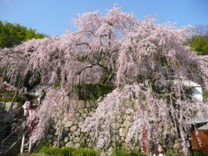 舞鶴市瑠璃寺のしだれ桜