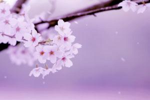 矢掛町の花サクラ