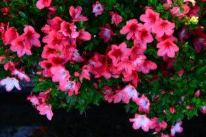 美咲町の花さつき
