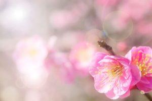 熊野町の花ウメ