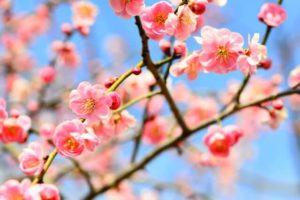 奈義町の花ウメ