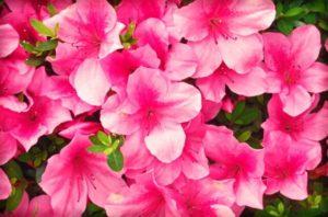 勝央町の花ツツジ