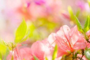 山添村の花ヤマツツジ