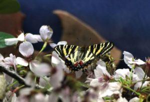 鏡野町の蝶ギフチョウ