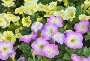 井原市の草花ペチュニア