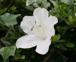 西粟倉村の花サツキ