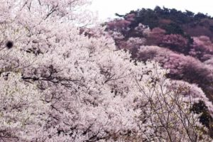 御杖村の花ヤマザクラ