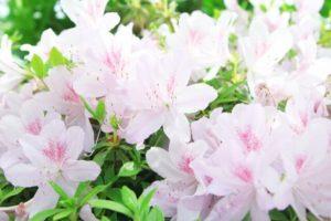 久米南町の花ツツジ
