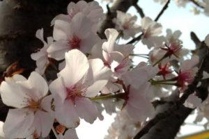 須崎市の花ヤマザクラ