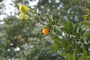 南国市の花タチバナ