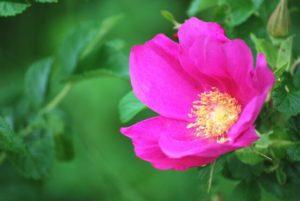 かほく市の花ハマナス