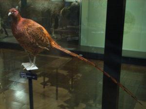 三原村の鳥ヤマドリ
