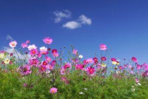 さぬき市の花コスモス