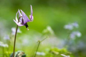 麻績村の花カタクリ