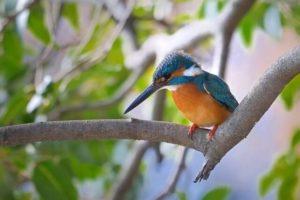 須崎市の鳥カワセミ