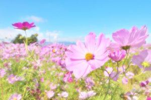 佐久市の花コスモス