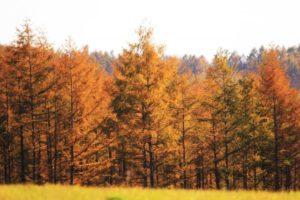 佐久市の木カラマツ