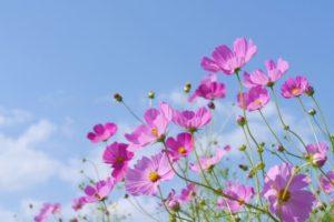 越知町の花コスモス