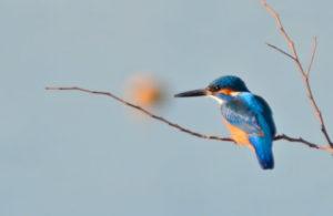 佐川町の鳥カワセミ