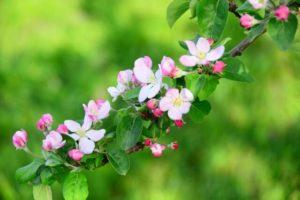 坂城町の花木リンゴ