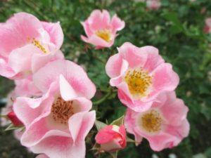 内灘町の花ハマナス