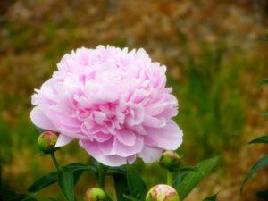 三木町の花シャクヤク