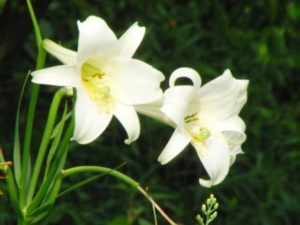 土佐市の花ユリ