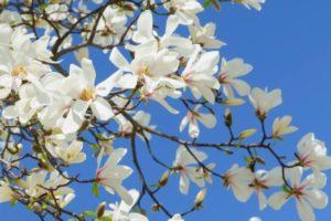 豊丘村の花コブシ